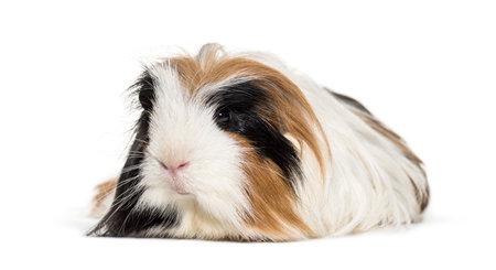Coronet cavy, Guinea pig against white background Standard-Bild - 115558884