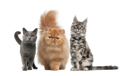 Maine Coon, Persian kitten, Chartreux cat, in front of white background