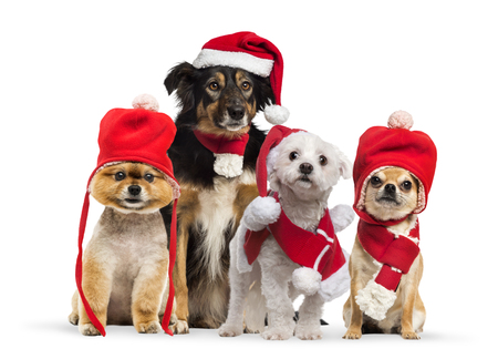 Border collie with christmas hat and scarf, Maltese wearing Santa outfit, Groomed Pomeranian dog sitting and wearing a red bonnet, Chihuahua wearing christmas hat and scarf, in front of white background Standard-Bild - 115581415