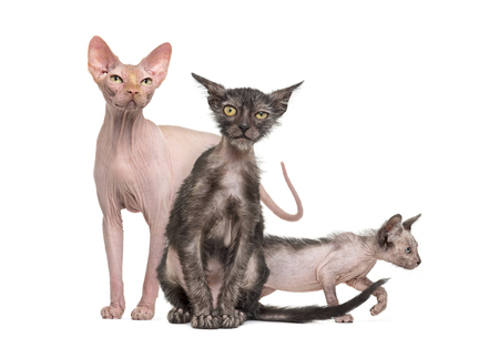Sphynx cat with two Lykoi kittens, in front of white background