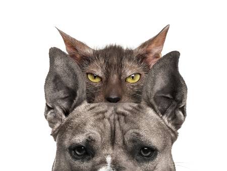 American mastiff with Lykoi cat behind, in front of white background