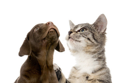 Puppy Labrador retriever chocolate, European Shorthair kitten, in front of white background Standard-Bild - 111514458