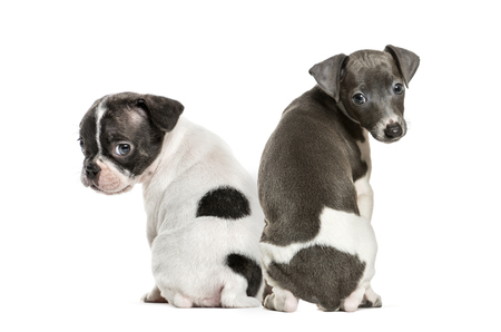 Boston terrier, Italian Greyhound puppy, in front of white background Standard-Bild - 111514457