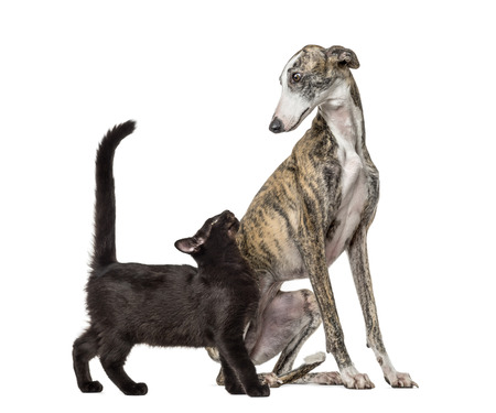Slim galgo dog and Mixed-breed black cat, in front of white background