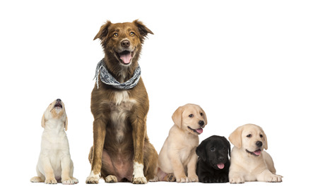 Groups of dogs, Labrador Puppies, Labrador Australian Shepherd crossbreed dog, in front of white background Standard-Bild - 111477719