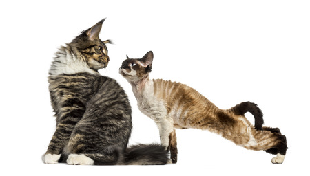 Maine Coon sitting and Devon Rex, in front of white background Stock Photo