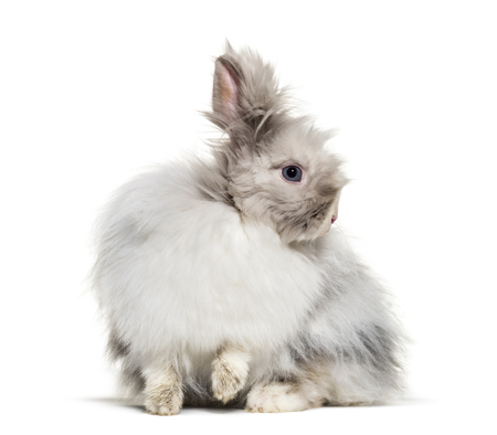 Angora rabbit, sitting against white background Standard-Bild - 111477726