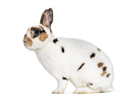 Rex Dalmatian Rabbit, sitting against white background Standard-Bild - 111467096