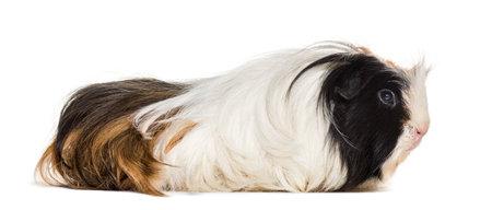 Coronet cavy, Guinea pig against white background Standard-Bild - 111467098