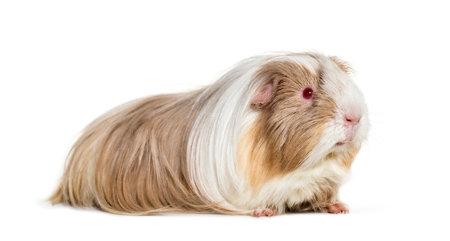 Coronet cavy, Guinea pig against white background Standard-Bild - 111467099