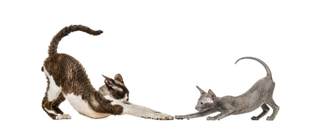 Devon rex, Peterbald kitten, in front of white background Imagens