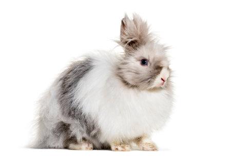 Angora rabbit, sitting against white background Standard-Bild - 111467102