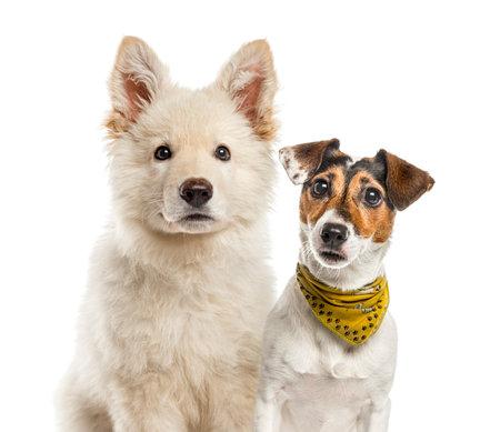 Jack Russell Terrier, White Swiss Shepherd puppy, in front of white background Standard-Bild - 111466664