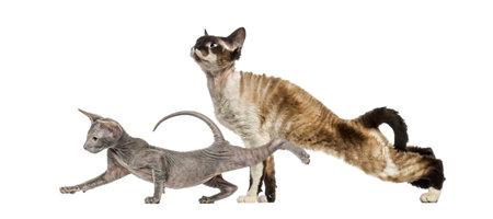 Devon Rex, Peterbald kitten, in front of white background Standard-Bild - 111466662