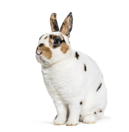 Rex Dalmatian Rabbit, sitting against white background Standard-Bild - 111466670