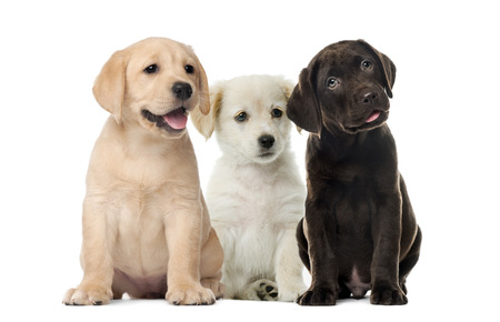 Groups of dogs, Labrador puppies, Puppy chocolate Labrador Retriever, in front of white background Standard-Bild - 111466671