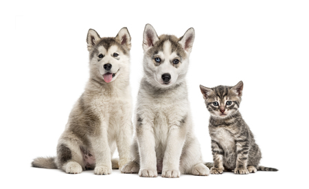 Groups of dogs, Siberian Husky puppy, Alaskan Malamute puppy, American Polydactyl kitten, in front of white background Standard-Bild - 111458308