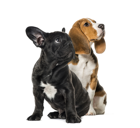 Young Beagle sitting with Black French bulldog puppy, looking up , in front of white background Standard-Bild - 111458310