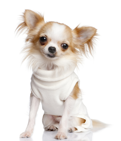 chihuahua dressed-up in front of a white background Stock Photo