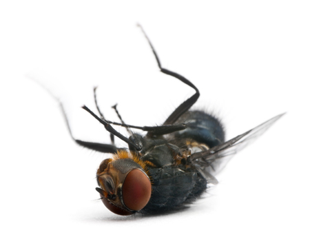 Housefly, Musca domestica, lying against white background Zdjęcie Seryjne