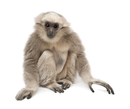 Young Pileated Gibbon, 1 year old, Hylobates Pileatus, sitting in front of white background 免版税图像