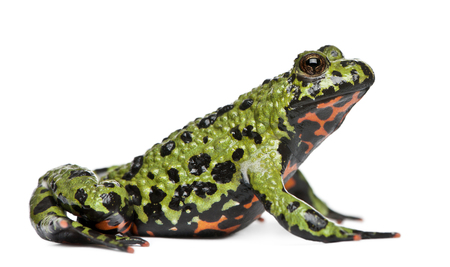 Oriental Fire-bellied Toad, Bombina orientalis, in front of white background Banco de Imagens - 110512320