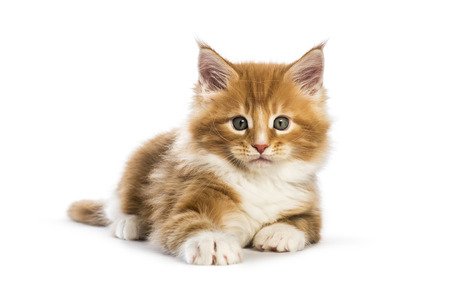 Maine coon kitten, 8 weeks old, in front of white background Stok Fotoğraf