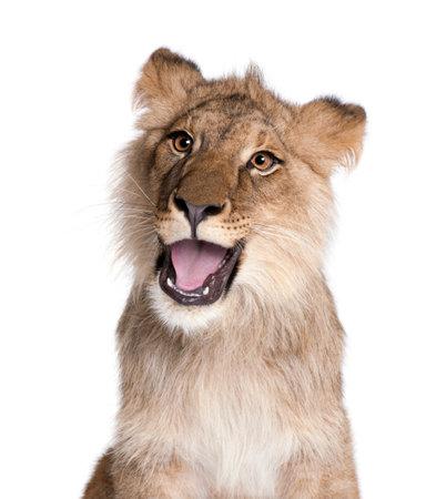Lion, Panthera leo, 9 mois, devant un fond blanc, tourné en studio