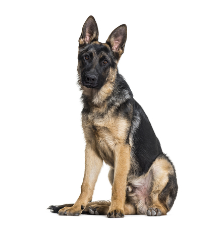 German Shepherd dog looking at camera against white background