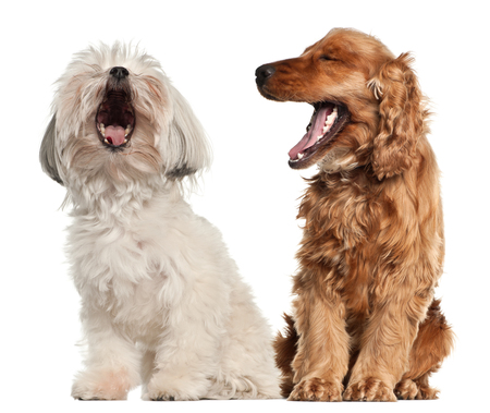 English cocker spaniel and Bolognese sitting against white background