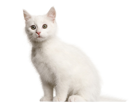 White kitten crossbreed cat, 3 months old, sitting in front of white background Imagens