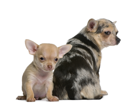 Mother Chihuahua  and her puppy, 8 weeks old, in front of white background