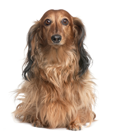 Dachshund (4 years old) in front of a white background Stock Photo