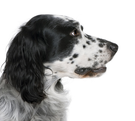 Bastard dog, 6 years old, in front of a white background, studio shot
