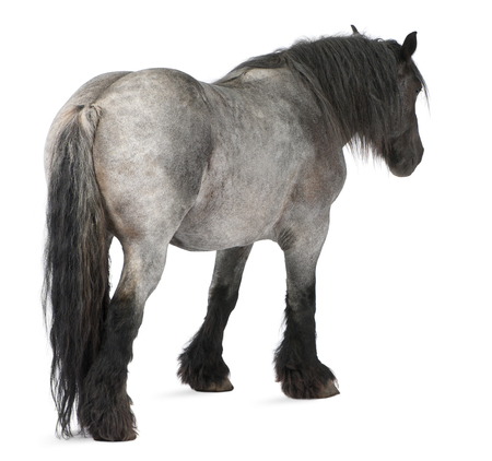 Belgian horse, Brabançon, standing in front of white background