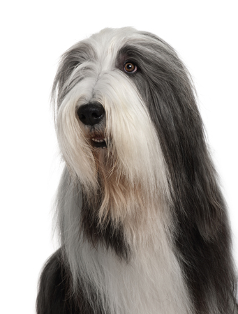 Close-up of Bearded Collie, 4 years old, sitting in front of white background