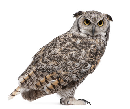 Great Horned Owl, Bubo Virginianus Subarcticus, in front of white background 스톡 콘텐츠