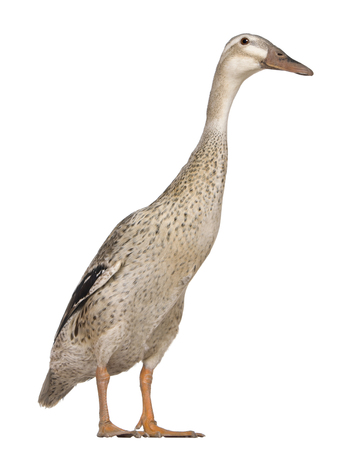 Female Indian Runner Duck, 3 years old, standing in front of white background 免版税图像
