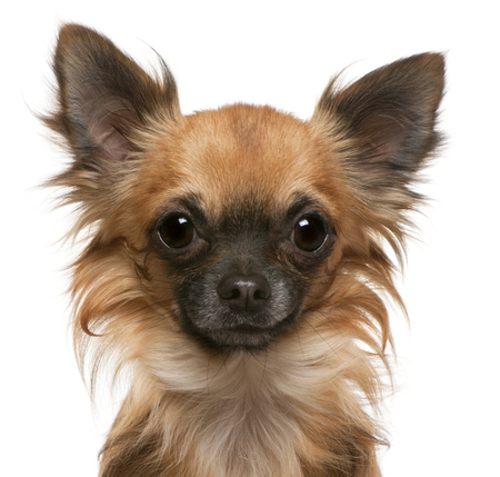 Close-up of Chihuahua, 17 months old, in front of white background