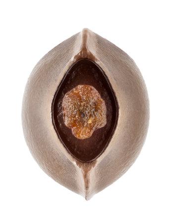 egg of stick insect - Phobaeticus serratipes