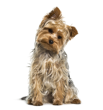 Yorkshire terrier dog looking down against white background Stock Photo