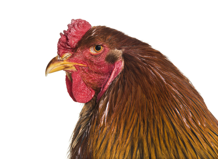 Brahma rooster, close up against white background