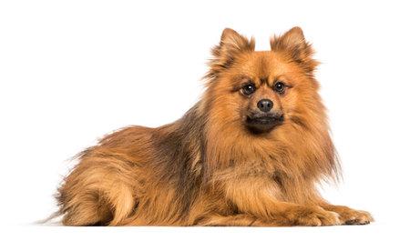 Keeshond dog lying against white background Stockfoto