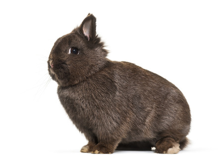 Dwarf rabbit, sitting against white background 版權商用圖片