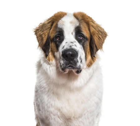 St.Bernard dog in portrait against white background Фото со стока