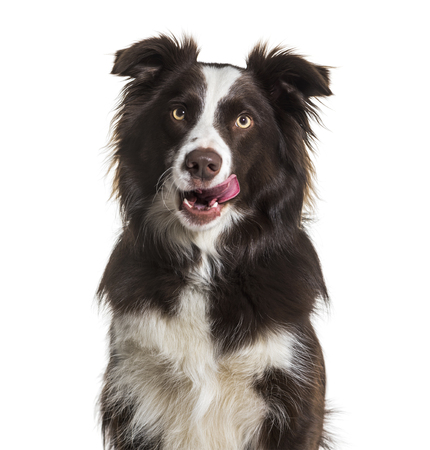 Border Collie dog, 2 years old, licking lips, sitting against white background