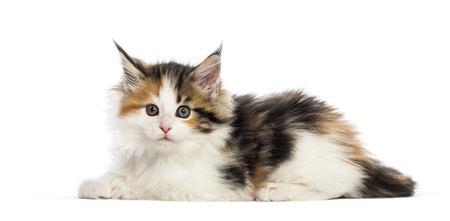 Maine coon kitten, 8 weeks old, reaching out in front of white background Stok Fotoğraf
