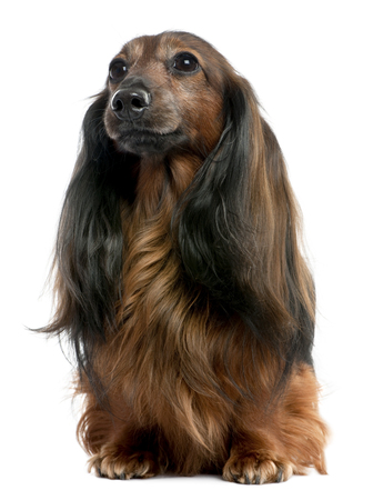 Dachshund looking away (7 years old) in front of a white background Stock Photo - 110572291