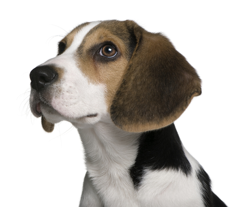 headshot of a Beagle puppy, 4 months old, in front of white background Stock Photo