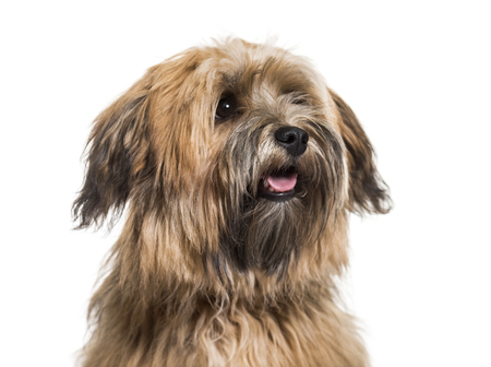 Havanese dog, 8 months old, close up against white background